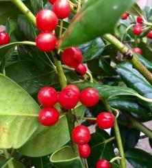 Holiday Holly 15