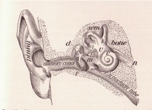 """""""...long-term bouts of water and wind exposure generates change in how the bone of the ear canal (auditory canal in image) grows and protects itself,"""" said Dr. McAfee who leverages his deep knowledge and technology to restore health and hearing."""